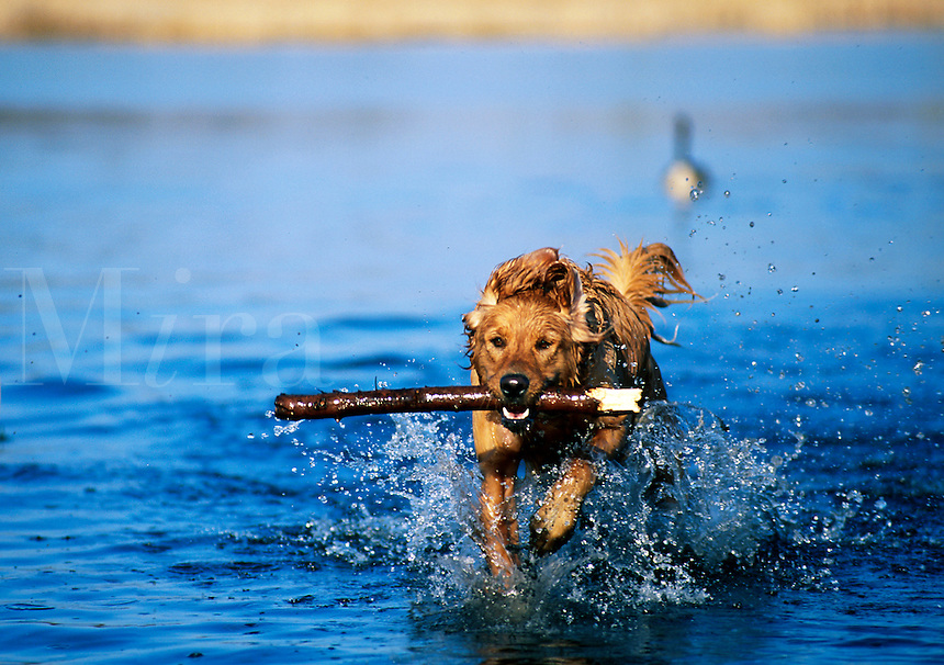 Golden Retriever running in water with a stick.