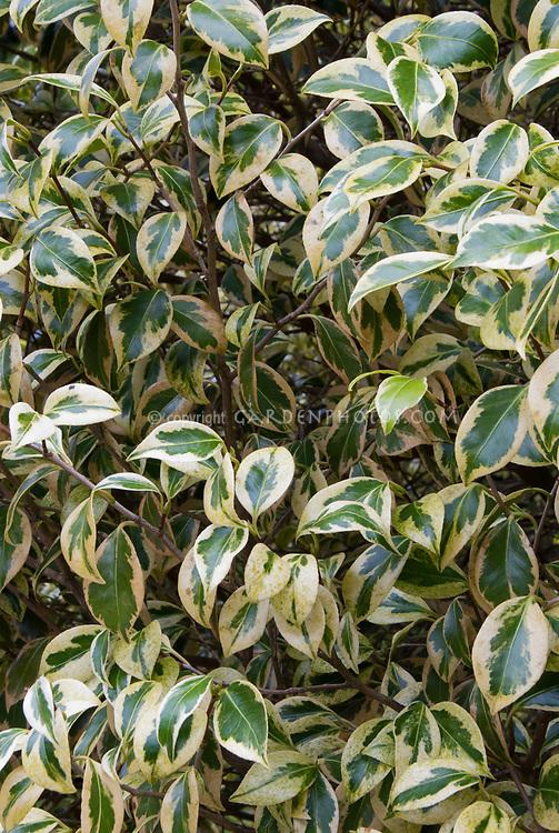 Camellia japonica 'Variegata', variegated shrub foliage