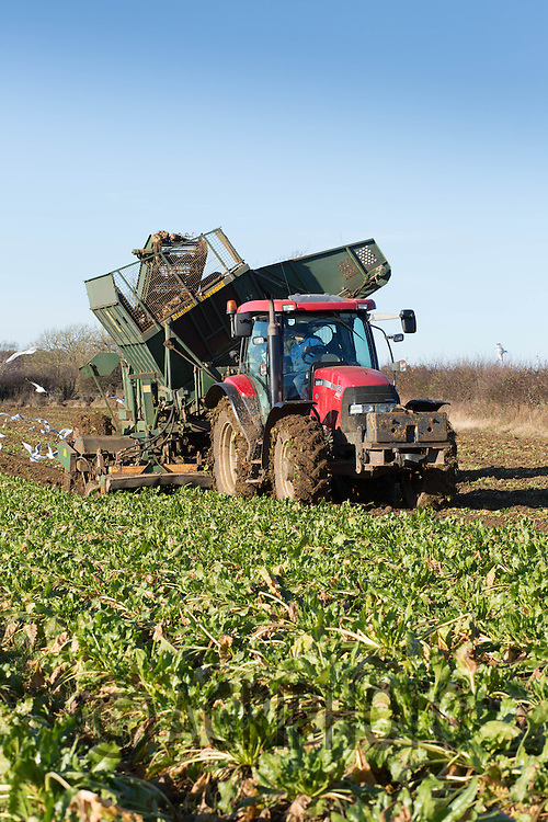 Farmer lifting sugar beet with a trailed beet harvester<br /> Picture Tim Scrivener 07850 303986