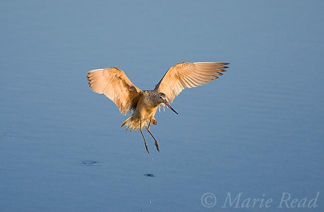 Marbled Godwit (Limosa fedoa) landing, Bolsa Chica Ecological Reserve, California, USA<br /> Woodfall/Photoshot