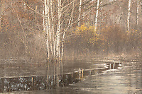 Open water cutting through the thin ice in a foggy wetland in northern Wisconsin.