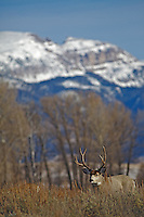 Mule Deer Buck, Sleeping Indian Mountain, Jackson Hole, Wyoming