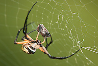 389990005 a wild yellow garden spider argiope aurantia feeds on prey in its web at hornsby bend travis county texas