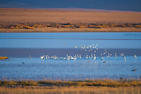 Tundra swans on the waters of Safety Sound, near Nome Alaska, along the western coast of Alaska's arctic.