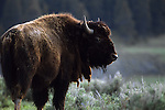 A lone bison in Yellowstone National Park, Wyoming.