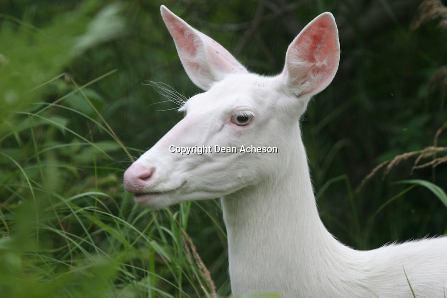 An albino deer emerges from the deep green underforest. All-white deer are protected animals in several states, including Wisconsin, and cannot be legally hunted. Wildlife biologist Ron Eckstein, of the Wisconsin Department of Natural Resources, says albinos make up less than a tenth of a percent of whitetails. Wisconsin has more than 1.5 million white-tailed deer.