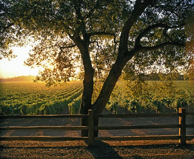 Oakville vineyard