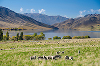 Sheep grazing on farmland at Lake Benmore, Waitaki Valley, North Otago, New Zealand - stock photo, canvas, fine art print