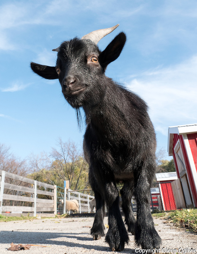 Chase The Baby Goat, a 10-month-old Angora Goat was the victim of an attempted kidnapping from the Children's Animal Farm at Canatara Park. He is one of six goats that reside at the farm. Also pictured is farm worker Cheryl Leystra.