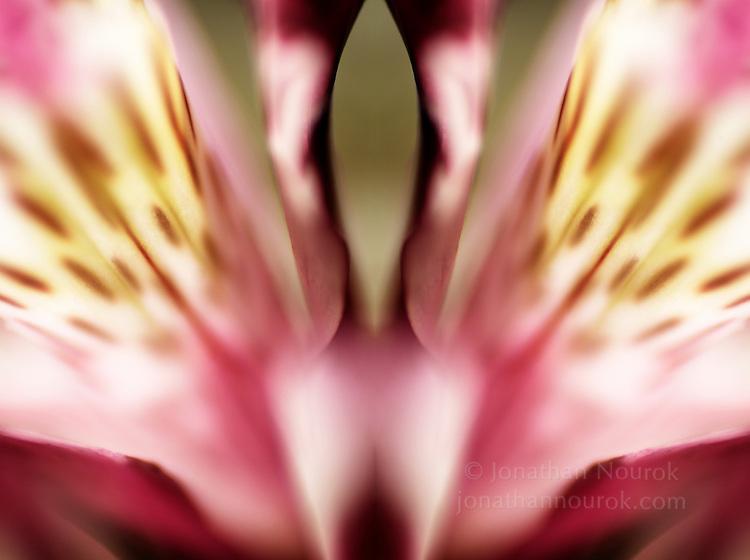 mirrored close-up of an alstroemeria flower
