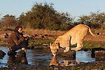 Botswana, Kalahari, Valentin Gruener  with a lioness at water hole; he raised her on a private reserve from a small dying cub to a healthy adult