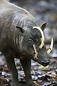 Sulawesi Babirusa (Babyrousa celebensis) is a pig-like animal native to northern Sulawesi , Rehabilitation Reserve in northern Sulawesi, Indonesia, endangered species, threatened through loss of habitat and bush meat trade