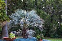Chamaerops humilis var. cerifera, Mediterranean Blue Fan Palm - Leaning Pine Arboretum, California garden