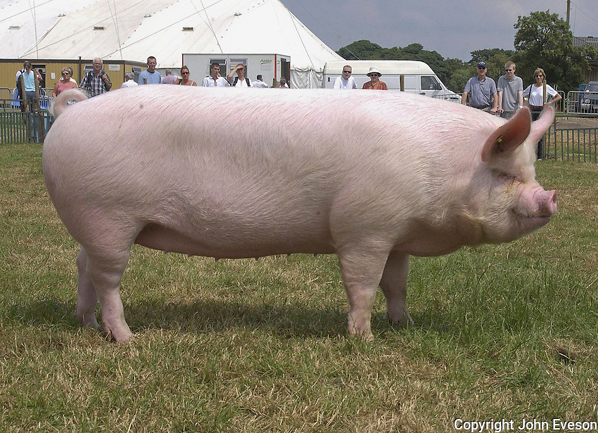 The supreme pig champion, Elgony Fairlady , a Middle White gilt from Geoff Parker of Kelsall Pig Farm, Kelsall, Tarporley, Cheshire.