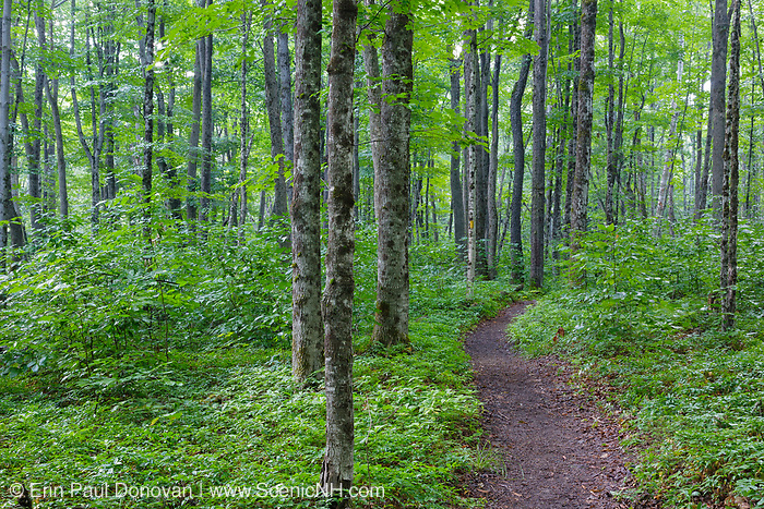 Hardwood forest along the Osseo Trail in Lincoln, New Hampshire. This area was part of logging Camp 8 along the old East Branch & Lincoln Railroad, which was in operation from 1893-1948. A yellow trail marker is in view.