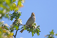 Grauammer, Grau-Ammer, Miliaria calandra, Emberiza calandra, corn bunting, Le Bruant proyer, Proyer d'Europe
