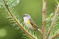 American redstart warbler, Setophaga ruticilla, singing from pine branch in spring, Cape Breton Island, Nova Scotia, Canada