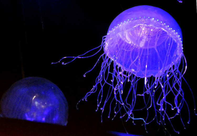 Chicago Scenes: Glowing jellies at the Field Museum of Natural History in Chicago. (DePaul University/Jamie Moncrief)