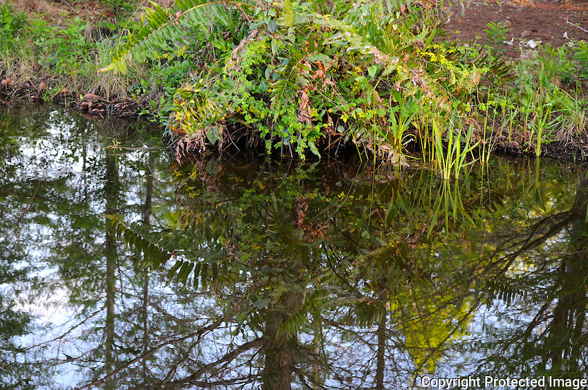 Late afternoon reflections of trees and foliage in a pond located at Green Cay Wetlands, Boynton Beach, Florida.