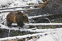 Yellowstone Grizzly Bear crosses Obsidian Creek on a log during a spring snowstorm  in Yellowstone National Park.