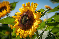 Sunflowers with honey bees - Lincolnshire, October