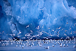 Black-legged Kittiwakes near an iceberg in Svalbard, Norway.