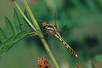 Östlicher Blaupfeil, Weibchen, Orthetrum albistylum, white-tailed skimmer, female