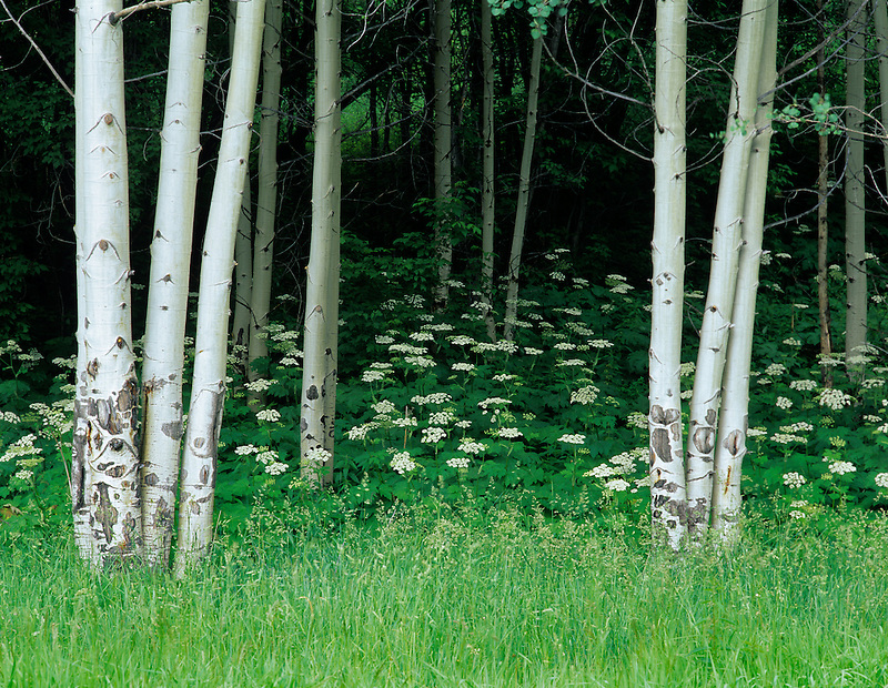 White Cow Parsnip flowers under Aspen trees. San Juan Mountains, Colorado.