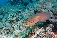 broadclub cuttlefish, Sepia latimanus, Tufi, Papua New Guinea, Solomon Sea, South Pacific Ocean