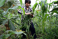 A woman digs up weeds from her field of maize nestled in the forested mountains. Many local farmers have cleared forested areas in order to plant maize. These fields are a common site on the mountainsides, creating a patchwork of vegetation cover between these agricultural lands and the remaining forests. Pingwu County in Sichuan Province, south-west China.