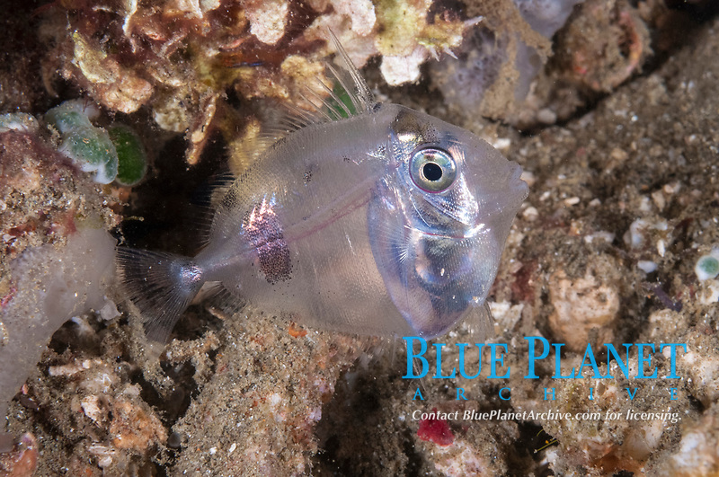 Juvenile Surgeonfish, Acanthuridae Family, night dive, Rhino City dive site, Ambon, Maluku, Indonesia, Banda Sea, Pacific Ocean