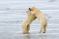 These polar bears demonstrate their strength and agility  while only one foot remains on the icy surface beneath them.