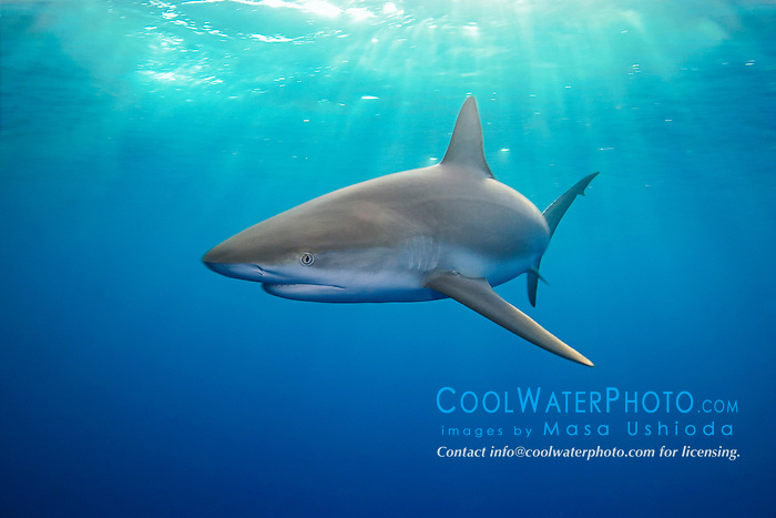 Caribbean Reef Shark, Carcharhinus perezi, at dusk, West End, Grand Bahamas, Atlantic Ocean