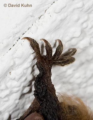 0411-1014  Little Brown Bat Rear Foot (syn. Little Brown Myotis), Myotis lucifugus  © David Kuhn/Dwight Kuhn Photography.