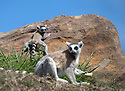 16/05/16<br /> <br /> &quot;This is way too slippery!&quot;<br /> <br /> Three baby ring-tail lemurs began climbing lessons for the first time today. The four-week-old babies, born days apart from one another, were reluctant to leave their mothers&rsquo; backs to start with but after encouragement from their doting parents they were soon scaling rocks and trees in their enclosure. One of the youngsters even swung from a branch one-handed, at Peak Wildlife Park in the Staffordshire Peak District. The lesson was brief and the adorable babies soon returned to their mums for snacks and cuddles in the sunshine.<br /> All Rights Reserved F Stop Press Ltd +44 (0)1335 418365
