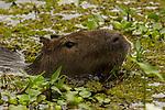 Capybara (Hydrochoerus hydrochaeris)  feeding on aquatic vegetation, Ibera Provincial Reserve, Ibera Wetlands, Argentina