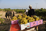 Palestinian farmers collect grapes during harvest season at a vineyard in Gaza city on July 24, 2018. Photo by Ashraf Amra