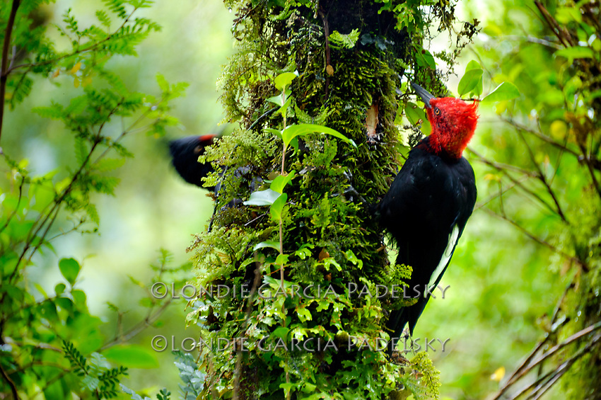 Magellanic Woodpecker, Queulat National Park, Aisen Region, Patagonia, Chile, South America on the Carretera Austral highway.