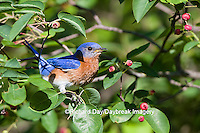 01377-17714 Eastern Bluebird (Sialia sialis) male in Serviceberry (Amelanchier canadensis) bush Marion Co. IL