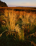 Pacific County, WA  <br /> Salt marsh grasses Leadbetter Point on Willapa Bay, Willapa National Wildlife Refuge
