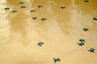 Olive ridley turtle hatchlings, Lepidochelys olivacea, heading towards the ocean for the first time, Costa do Sauipe, Bahia, Brazil South Atlantic
