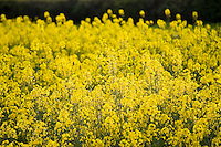 Rape seed crop field, Wyck Rissington, The Cotswolds, England, Gloucestershire, United Kingdom
