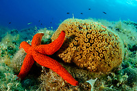 Echinaster sepositus und Cladocora caespitosa, Roter Seestern und Rasenkoralle, ( Echte Koralleriff im Mittelmeer)  Red starfish and Pillow coral ( The only true coral reef in the Mediterranean Sea ) Adria, Adriatisches Meer, Mittelmeer, Kornaten, Dalmatien, Kroatien, Adriatic Sea, Mediterranean Sea, Kornati, Dalmatia, Croatia