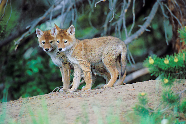 Wild Coyote pups within twenty feet of its den.  Western U.S., June.