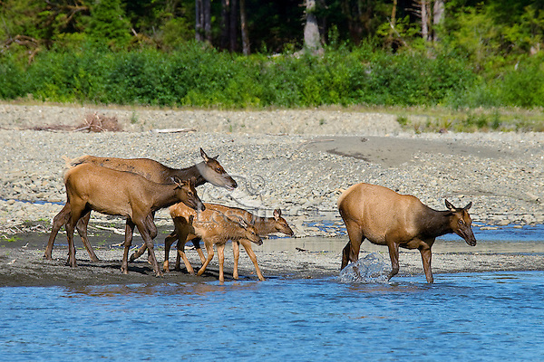 Roosevelt Elk or Olympic Elk (Cervus canadensis roosevelti) with calves.  Pacific Northwest, summer.  (Elk are along the Queets River in Olympic National Park's rain forest).