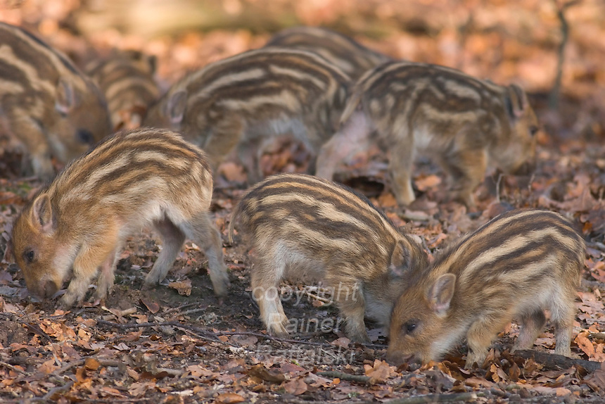 Germany, DEU, Arnsberg, 2005-Feb-07: Some young wild boars (sus scrofa), about two weeks old,  exploring the ground for food in the Wildwald Vosswinkel preserve.