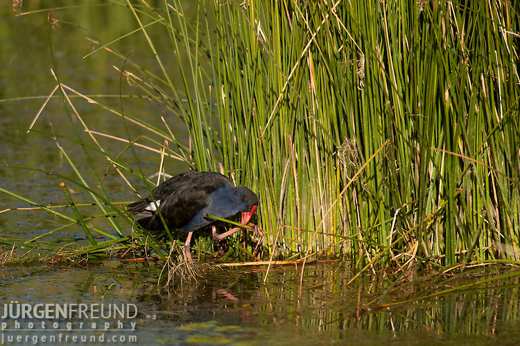 Purple Swamphen (Porphyrio porphyrio) in the wetlands of Muloorina Station near Lake Eyre South. This This chicken-sized bird, with its huge feet, bright plumage and red bill with frontal shield is also known as the African Purple Swamphen, Purple Moorhen, Purple Gallinule, Pūkeko or Purple Coot. Water in Muloorina Station waterhole comes from a flowing artesian bore near the banks of the Frome Creek. This homestead bore has fresh water attracting bird life, and station stock watering from it all year round.