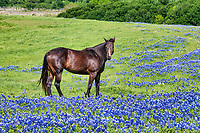 Horse and bluebonnet what says Texas more than that. We capture this horse in a field of bluebonnet wildflowers it took her a while to look up as she seem focus on eating but finally a look our way. The Texas lupine or bluebonnet is the state flower so there is nothing  better than capture this majestic creature standing in a big patch of Texas bluebonnet wildflowers.