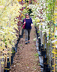 Model released woman walking past rows of colourful trees in blossom at a garden centre, UK