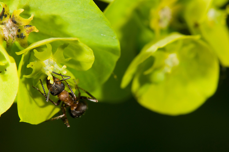Wood ant, Formica rufa, feeding on nectar from Euphorbia sp. Sapperton, Gloucestershire. UK.